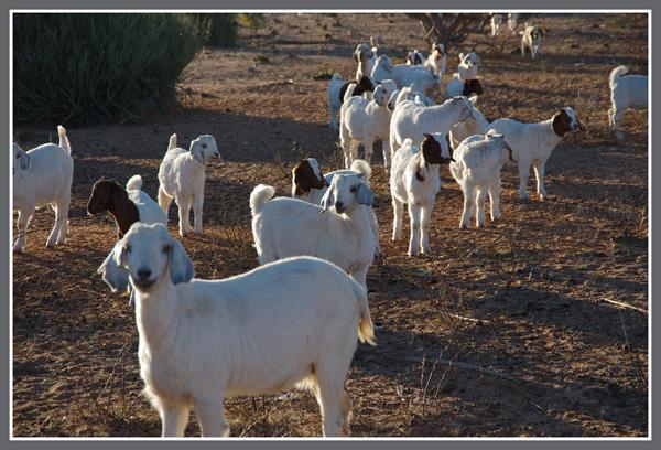 Goats in Onseepkans