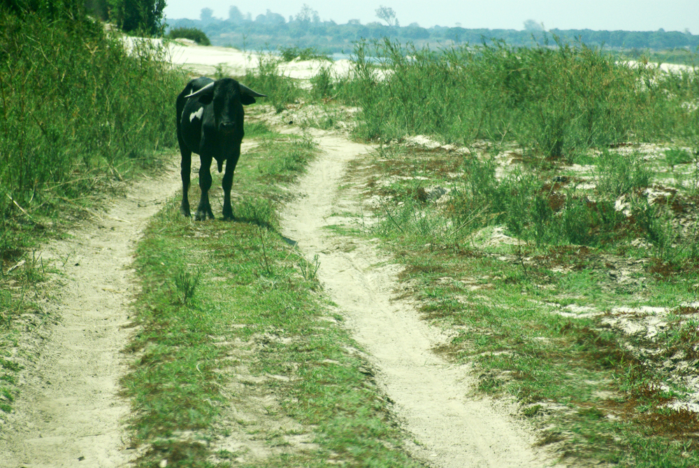 Africa, Cow, 2-lane track, travel, African travel, Lukulu, Zambia