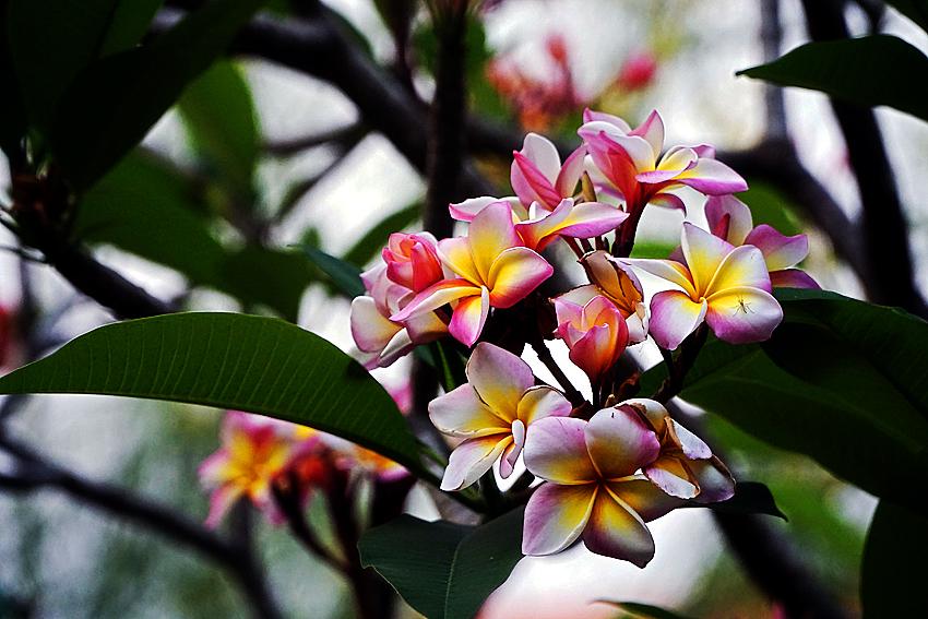 Thailand, Steve Evers, flower