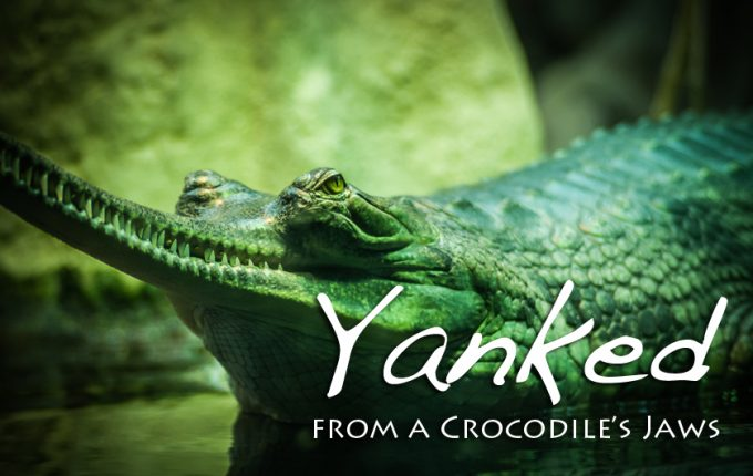 Yanked from a Crocodile's Jaws